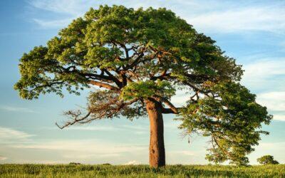 Biramo Europsko stablo godine