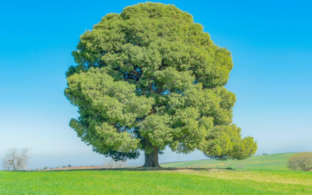 Kako je Gradsko vijeće spasilo najstarije drvo u Kanadi